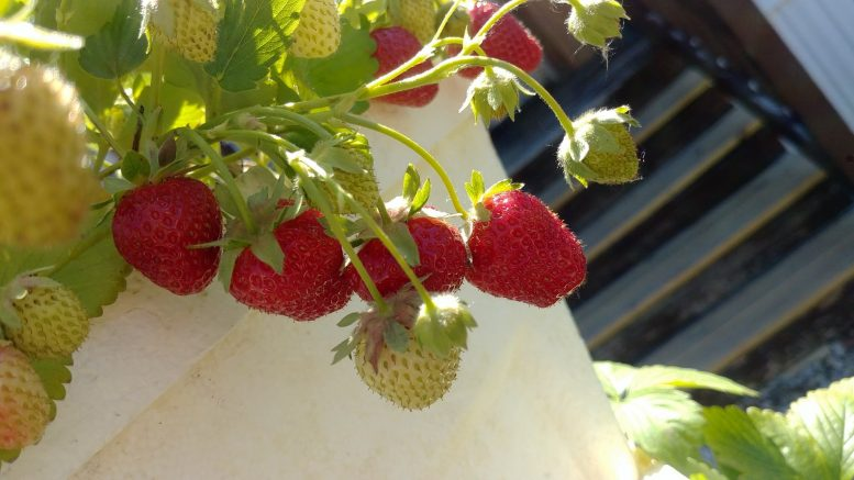 The Hi-Rise garden has produced over 50 pints of homegrown strawberries to be shared with ...
